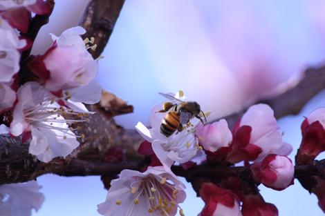 Apricot tree a