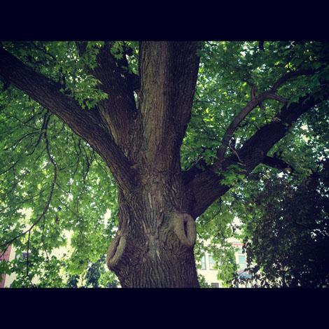 Indiana tree
