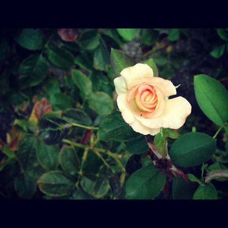 Garden young rose