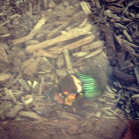 Sdiego scarab