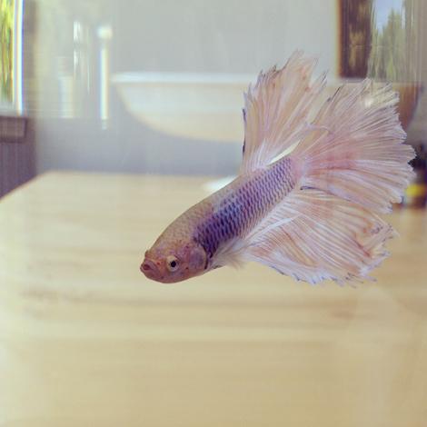 Mangoo fishie